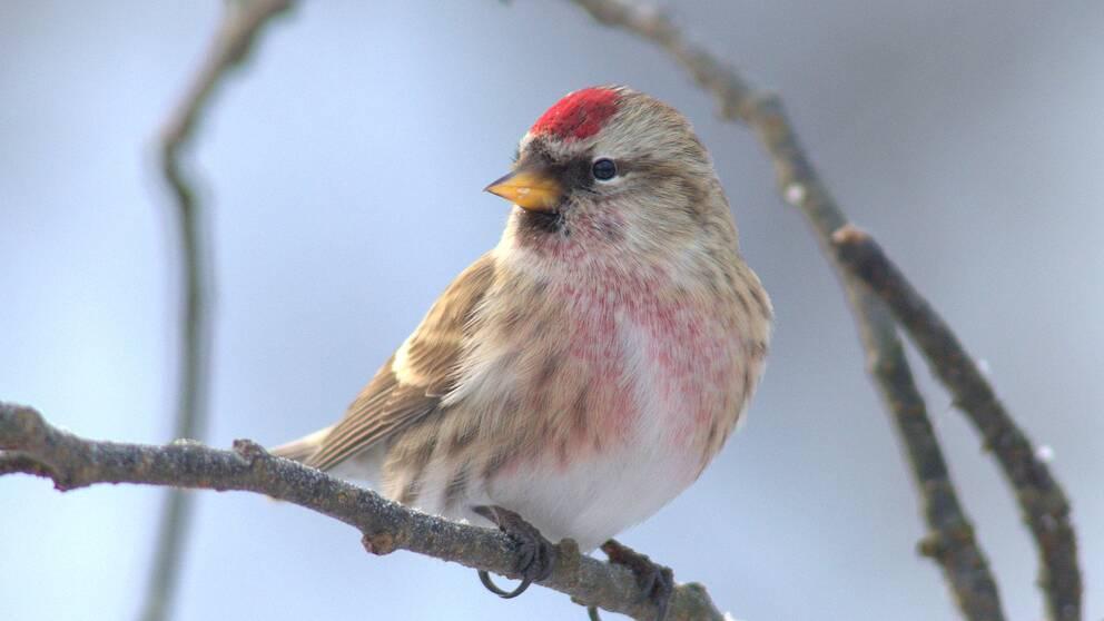 Gråsiskan var den tredje vanligaste fågeln som rapporterades in från fågelbord i Sverige i januari 2018.