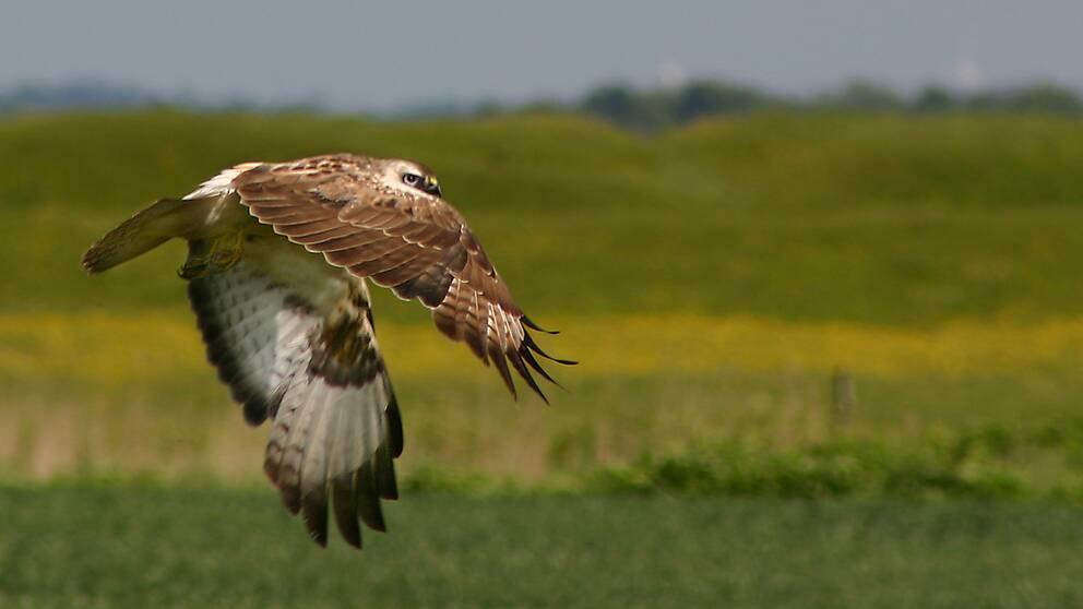 Ormvråken är en de rovfåglar som ökar i antal i Sverige.