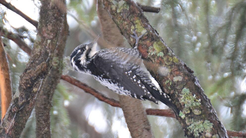 Den tretåiga hackspetten ökar i antal i Sverige enligt den årliga fågelinventeringen.