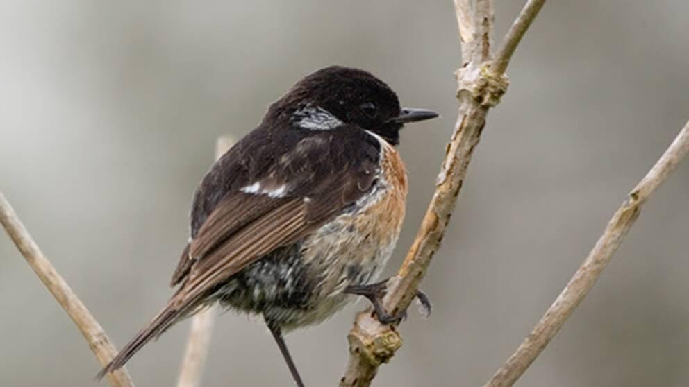 Den svarthakade buskskvättan är en av de arter som invandrat till Sverige.