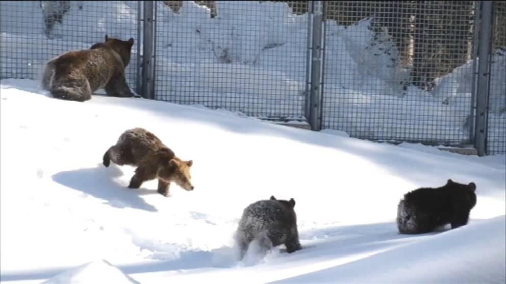 Här Lufsar Björnarna Ut Ur Idet Svt Nyheter