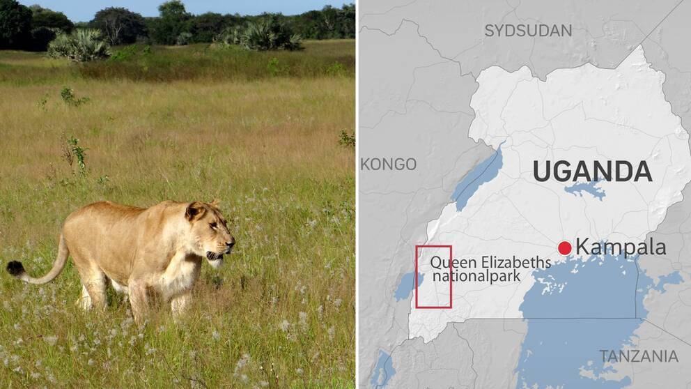 Till vänster: Lejon går på savann. Till höger: Karta som visar Uganda