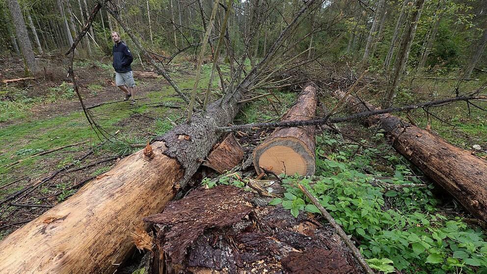 Gamla träd avverkades i för stor omfattning i Bialowiezaskogen i Polen, anser EU-domstolen.