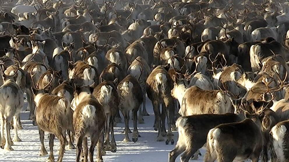 renar i flock