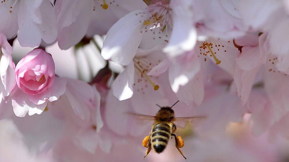 Ett bi som flyger vid ett blommande fruktträd.