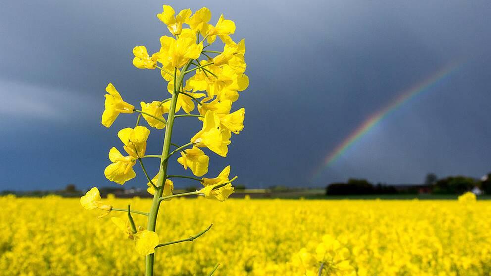 Rapsodlingarna har minskat till 7.000 hektar från 45.000 hektar sedan förbud mot bekämpningsmedlen neonikotinoider infördes för blommande grödor 2013.
