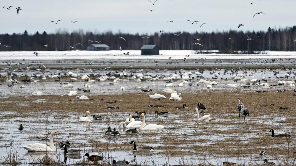 Flyttfåglarna trivs på de snösmältande fälten i Röbäck utanför Umeå i Västerbotten den 21 april.