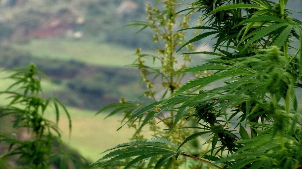 Marijuanaplanta i Lesotho.