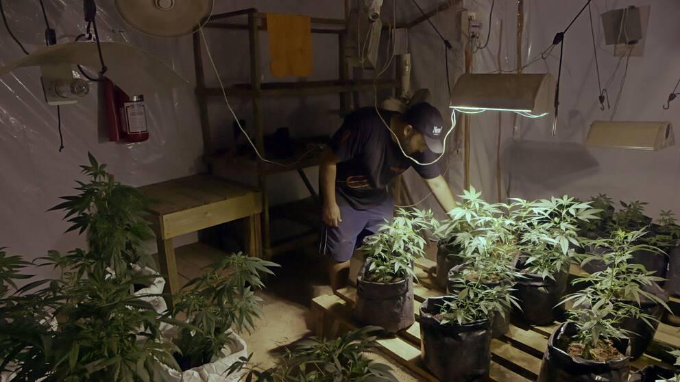 Marijuanaodlare i Uruguay.