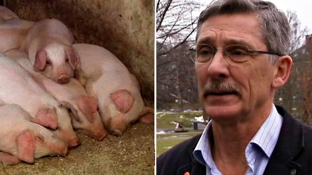 Bo Algers, professor vid Sveriges Lantbruksuniversitet, är en stark röst mot att avskilja suggan med en grind.
