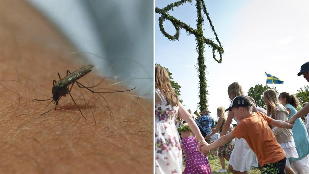 En mygga på en arm och midsommarfirade.