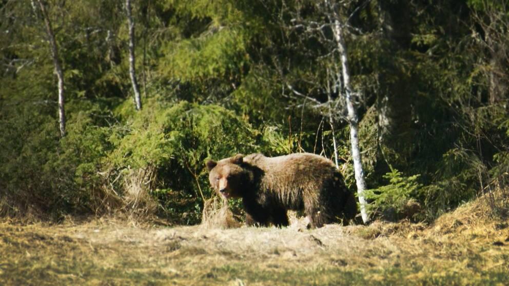 Björnen som Jörgen mötte stod på ungefär 70 meters avstånd. Närmare än så ville inte Jörgen komma.