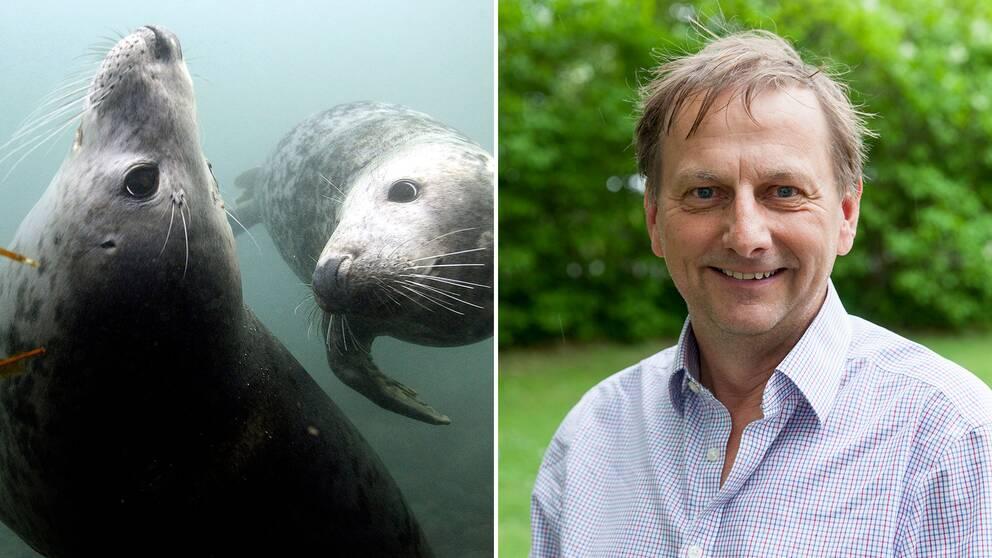 Gråsälar och Tom Arnbom, talesperson för Arktis och havsfrågor på WWF och expert på sälar.
