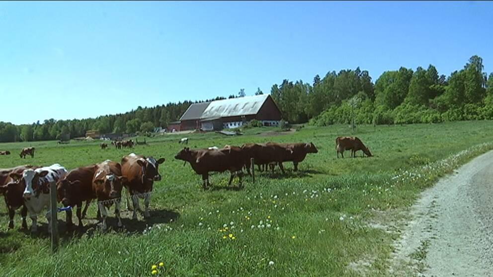 en flock mjölkkor i en hage, lagård och skog i bakgrunden