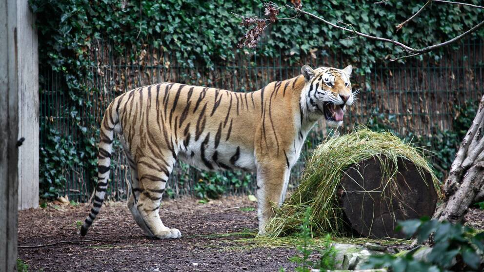 Man dodades av tiger i djurpark