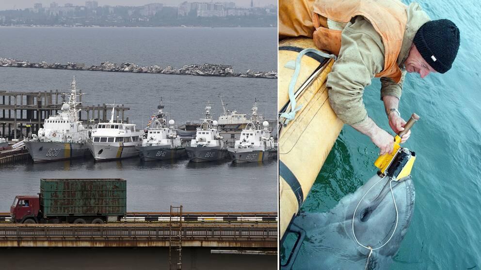Till vänster ukrainska flottfartyg i hamnen Odessa och till höger en av de ukrainska militära delfinerna, fotograferad 1996, som får en sensor ditsatt.