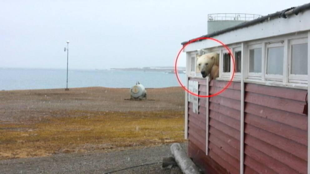 Isbjörn sticker ut huvudet genom ett sönderslaget litet fönster i ett garage