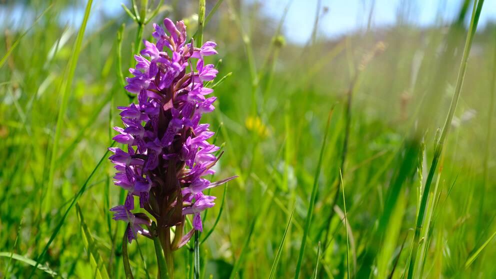 Orkidéen Ängsnyckel i Mosslunda naturreservat