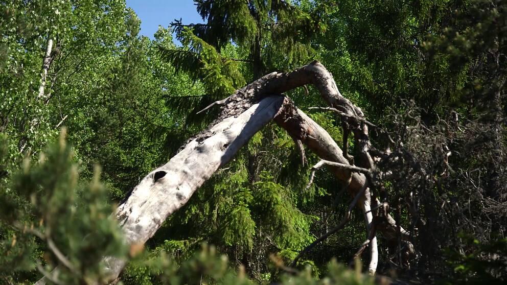 I naturskog får gamla och döda träd vara kvar, vilket gynnar den biologiska mångfalden.