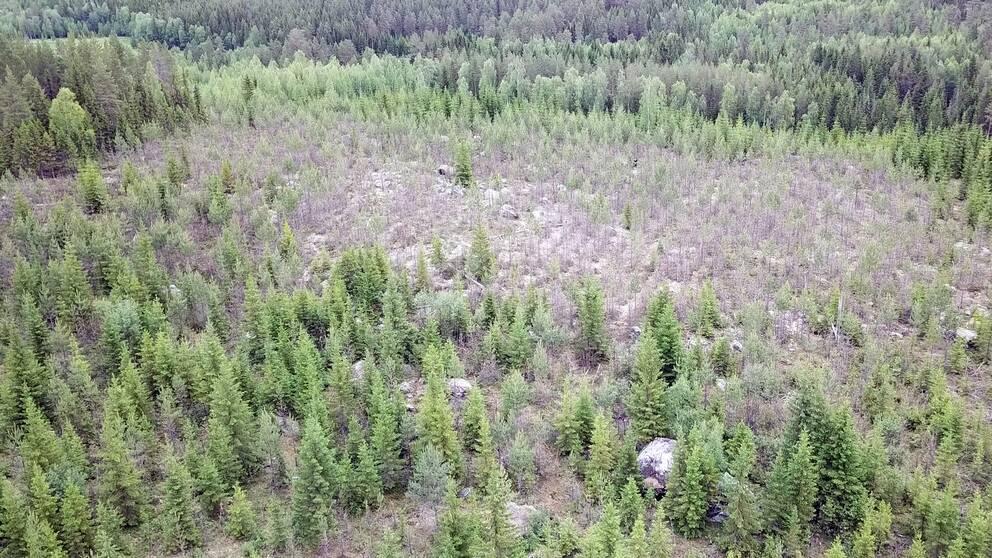 Älgskadad skog i Styrnäs