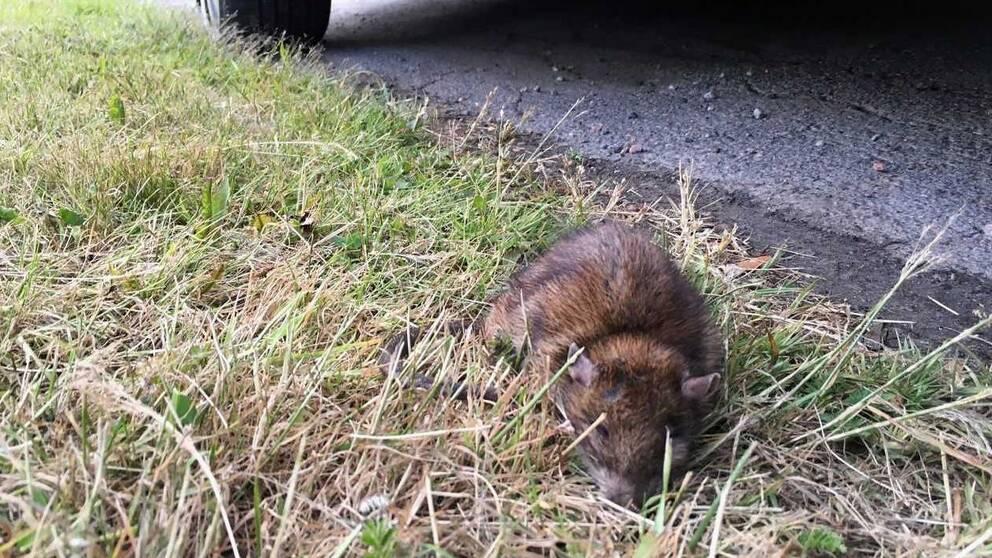Skadad råtta i Johannedal utanför Sundsvall.