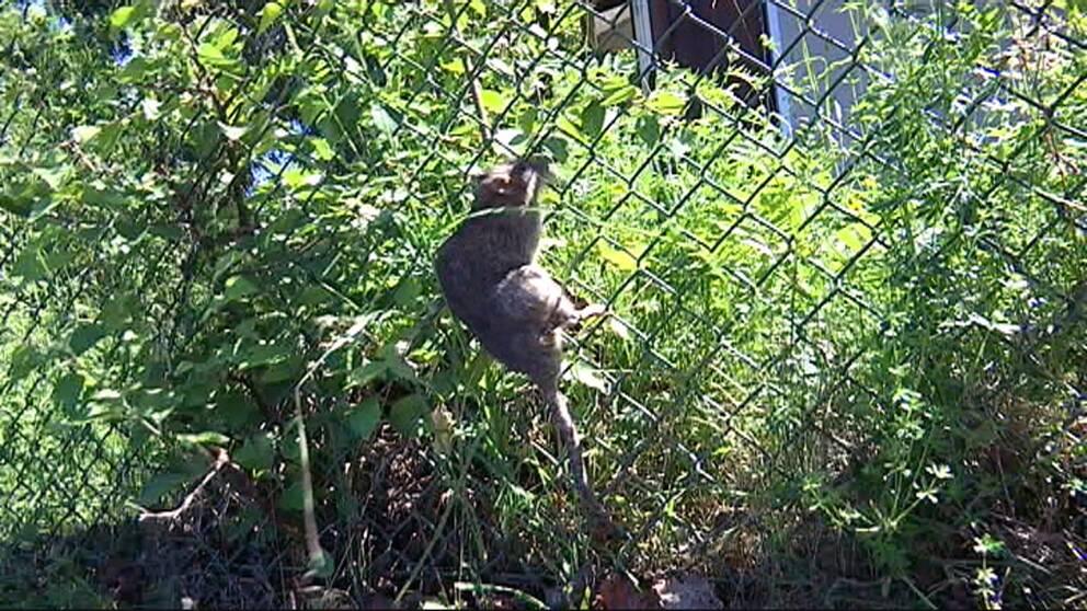 Råtta klättrar på stängsel