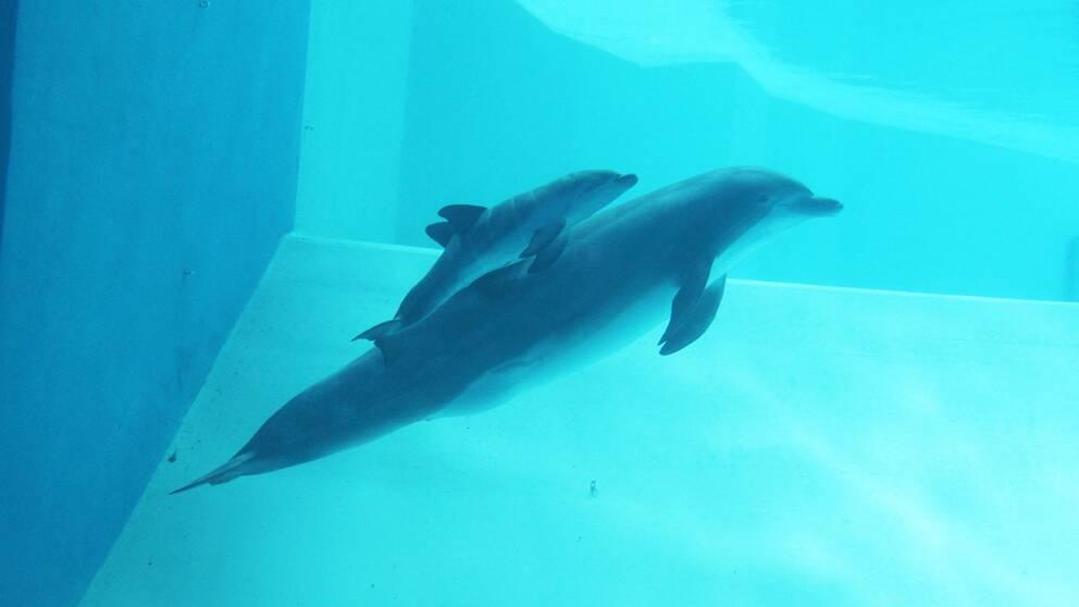 alana nyfödd delfin kalv flasknosdelfin kolmården