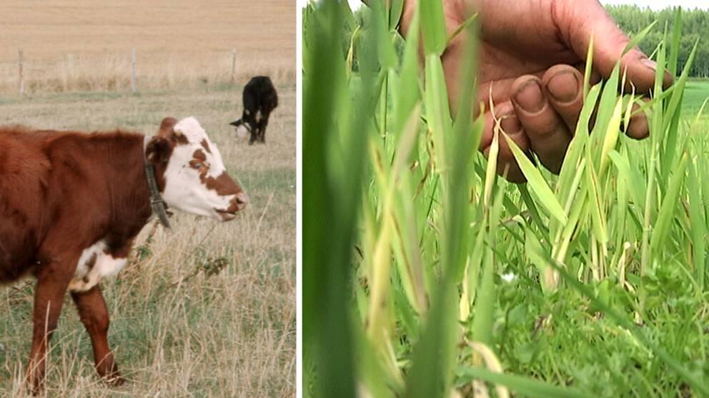 Kor och gräs.