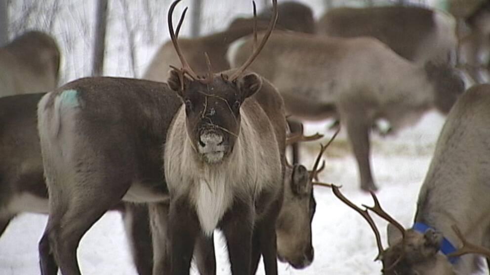Renarna särskilt utsatta i Jämtlandsfjällen