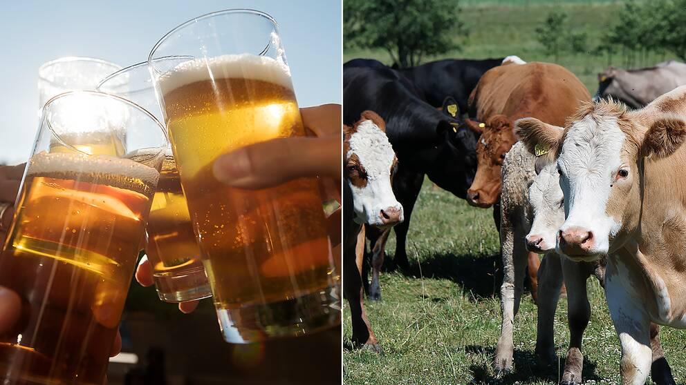 En restprodukt från öltillverkning kan bli foder åt kor i sommartorkan.