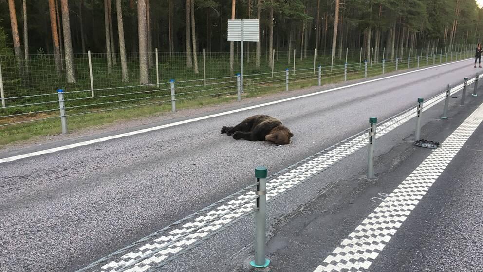 En död björn ligger på E4:an
