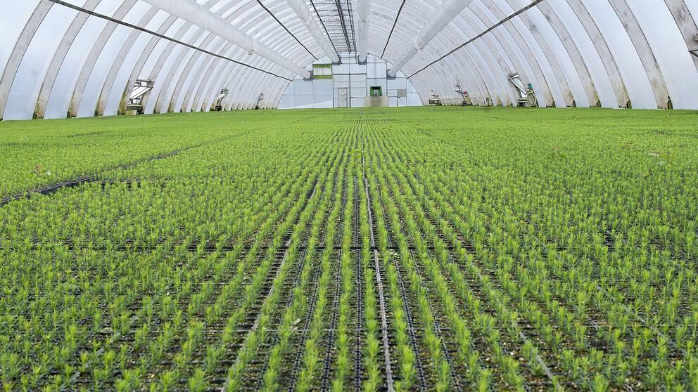 Tusentals skogsplantor kan inte planteras ut på grund av torkan och måste kasseras.