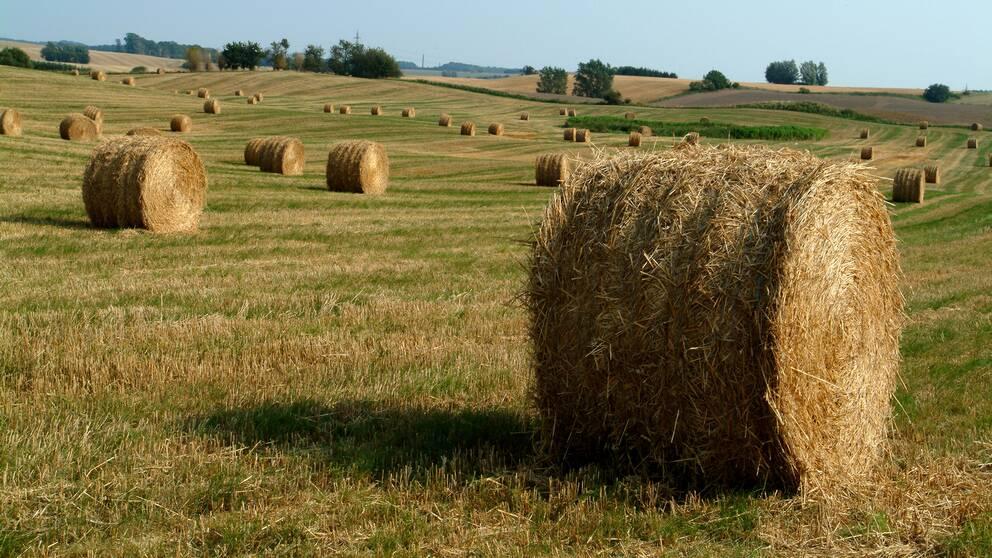 Halmbal prydligt utspridda över ett fält.