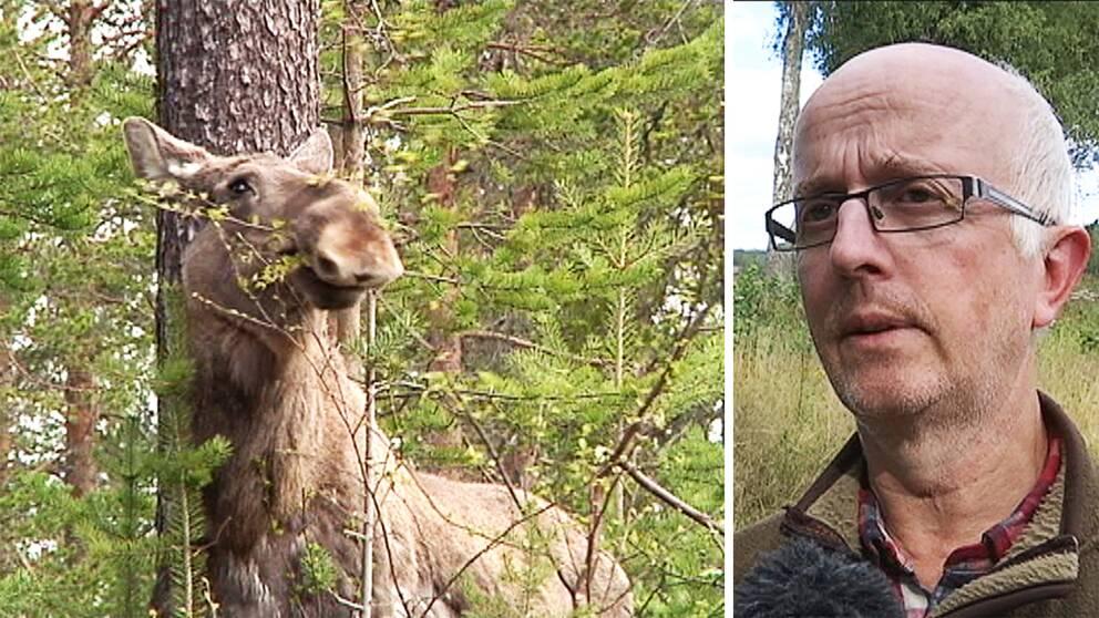 Jaktvårdskonsulent Gunnar Glöersen tror att sommartorkan kan ge långsiktiga effekter på älgstammen