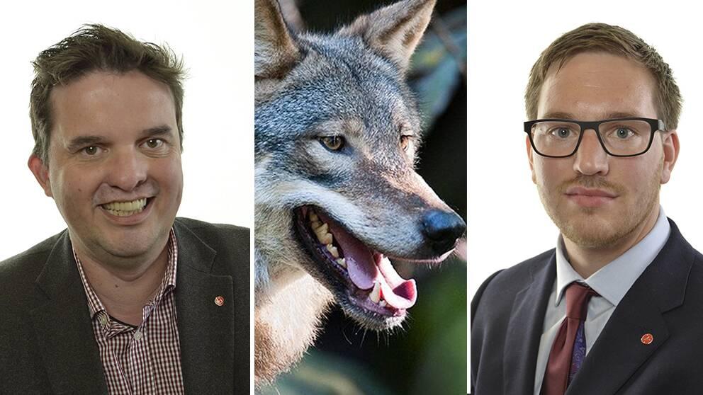 Mikael Dahlqvist (S) tv vill se en effektivare licensjakt medan Håkan Svenneling (V) th vill att den upphör tillfälligt tills den svenska vargstammen återhämtat sig.