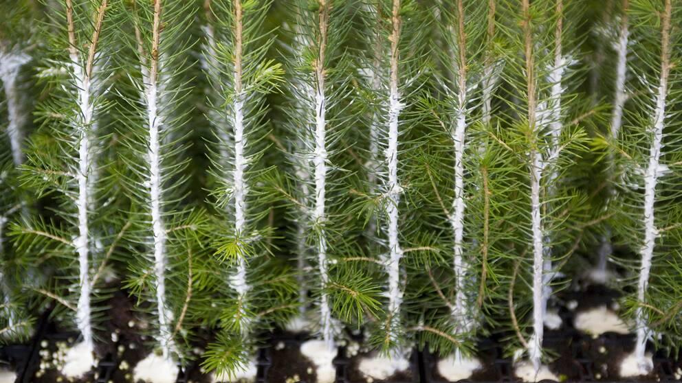 Unga plantor som behandlats med den nya miljövänliga beläggningen med sand och lim för att hindra angrepp från snytbaggar.