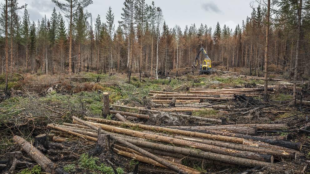 En maskin avverkar brunnen skog i Ängra.
