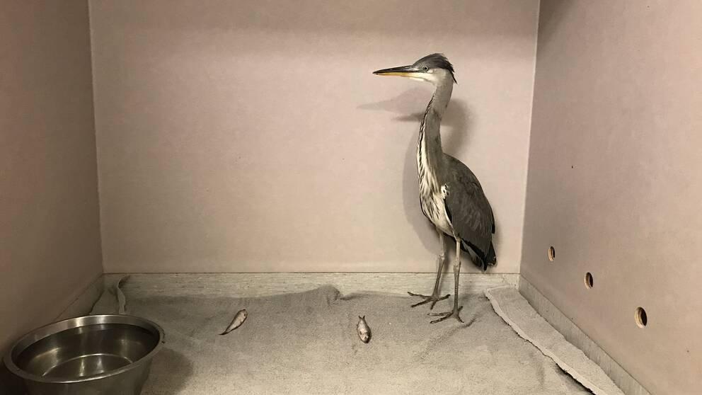 Hägern kunde släppas sedan den ätit upp sig och fått behandling hos den ideella organisationen Stockholms vildfågel rehab.