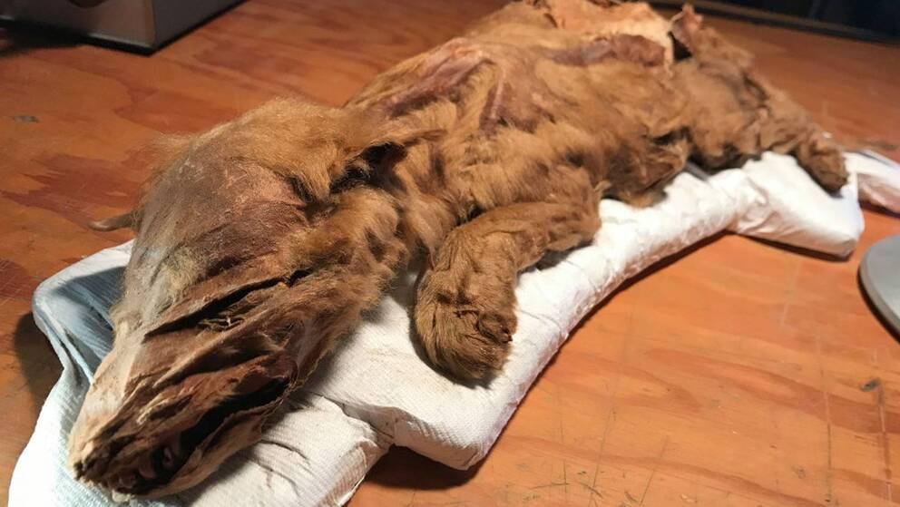 Vargvalpen, som legat frystorkad i permafrost, har både pälsen och huden bevarad.