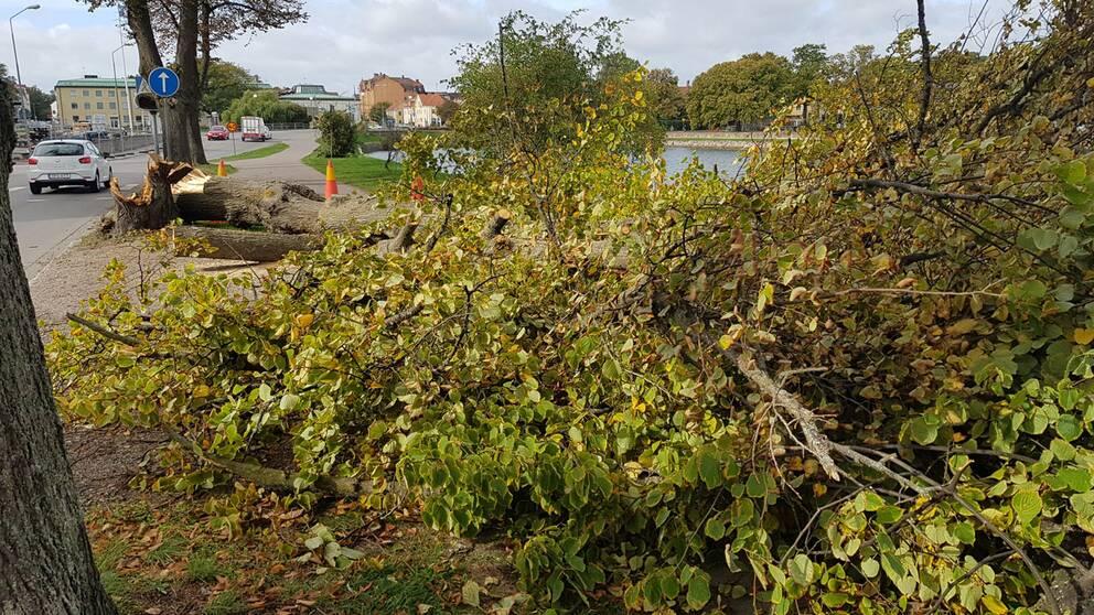 Ett träd vid Södra Kanalgatan i centrala Kalmar som fällts av stormen Knud.