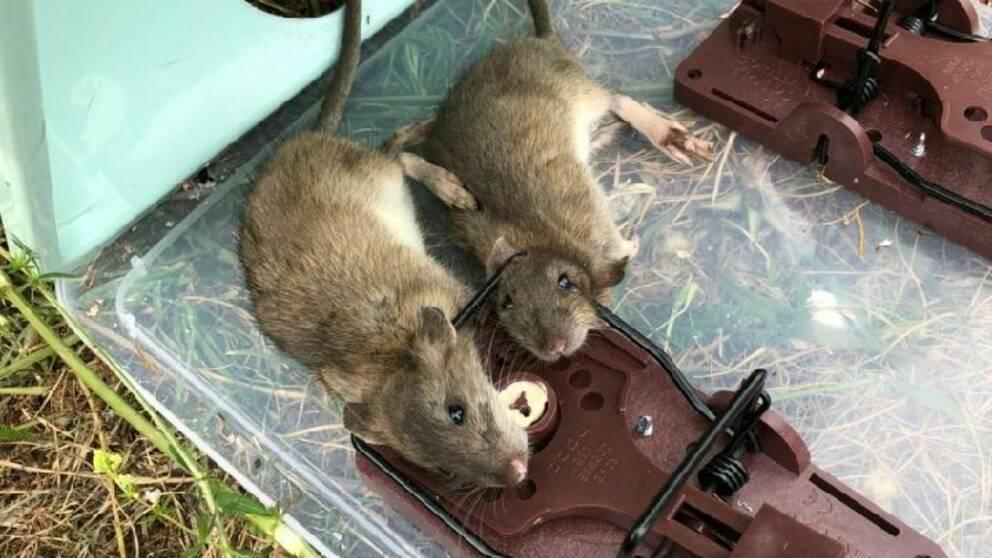 Döda råttor. Foto Sundsvalls kommun