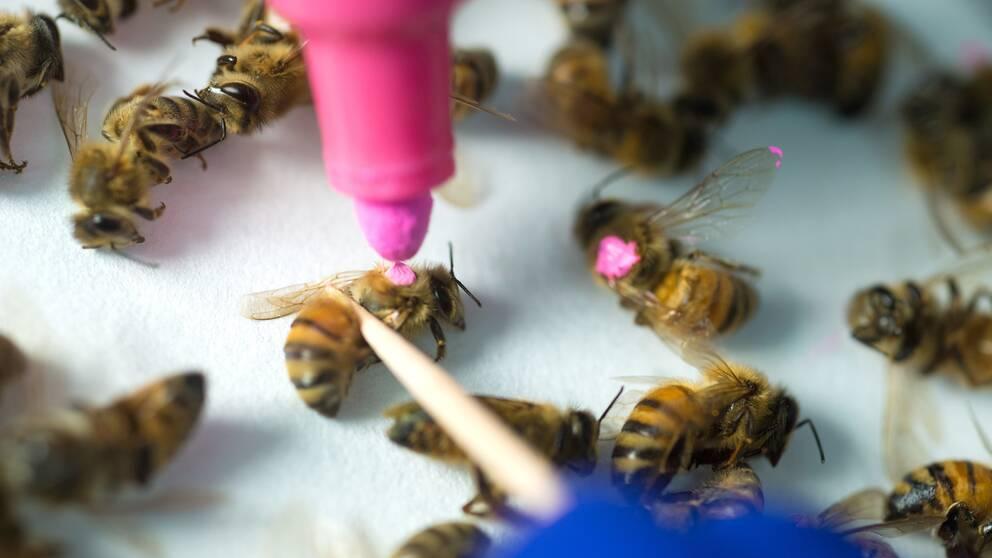 Forskarna i Austin märkte bin som utsatts för glyfosat med färg för att kunna se hur växtskyddsmedlet påverkat deras immunförsvar.