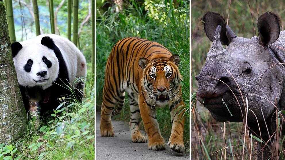 Jättepanda, tiger och noshörning.