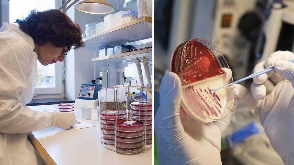 Vid Folkhälsomyndighetens smittskyddslabb i Stockholm undersöks en odling av antibiotika-resistenta bakterier – en ny studie presenteras nu med den uppskattade sjukdomsbördan i Europa vad gäller just bakterier som är resistenta mot antibiotika.