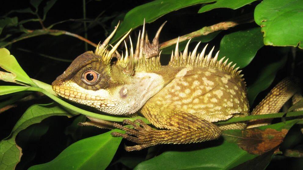 Ödla i Sydostasien.