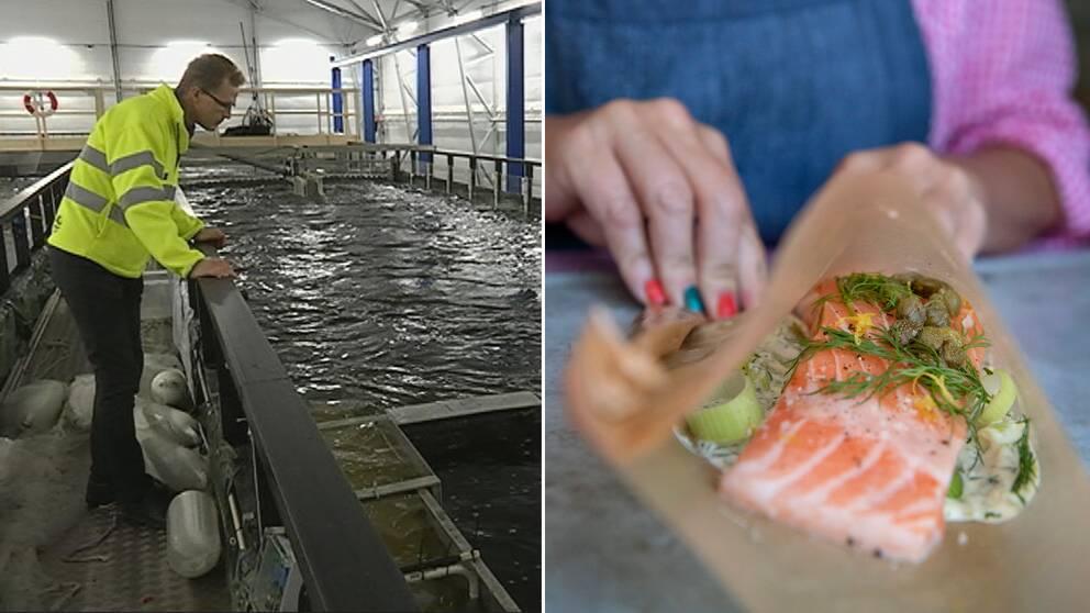 På vägen ut till havet måste mycket av den vandrande fisken passera vattenkraftverkens turbiner och det kan betyda en säker död.