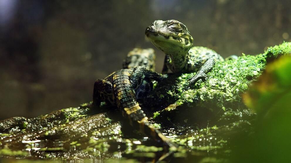trubbnoskrokodil, dvärgkrokodil, krokodilungar