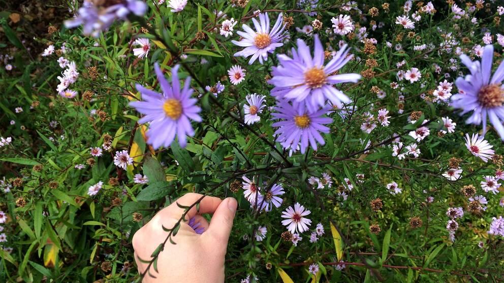 Blommande ringblommor i rehab-trädgården i Alnarp
