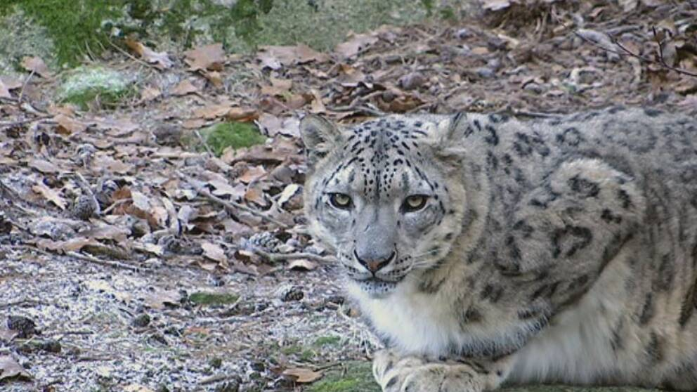 Snöleoparderna kan snart inte leva i sina vanliga områden om värmen fortsätter öka.