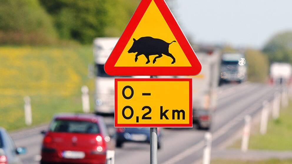 Den växande vildsvinsstammen gör att vi ser ut att gå mot ännu ett rekordår när det gäller vildsvinsolyckor i trafiken.